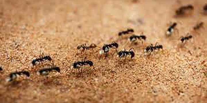 Ants insect pest control