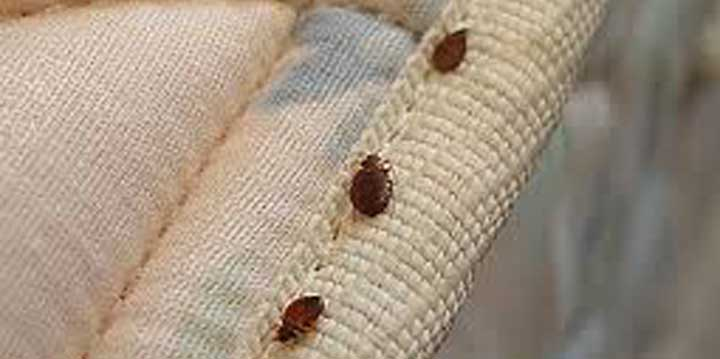 Do carpet beetles bite? Carpet Beetles Insect Pest Control
