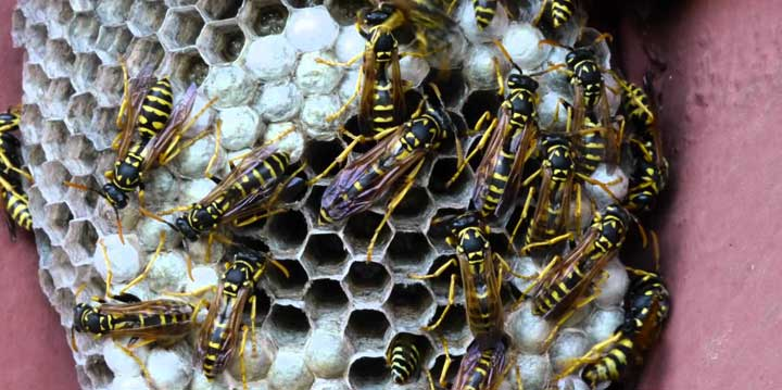 Yellow Jackets, Wasps and Hornets pest control